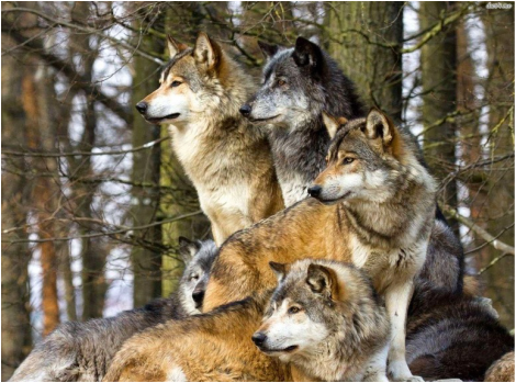 Pack Life Jay S Howling Wolves